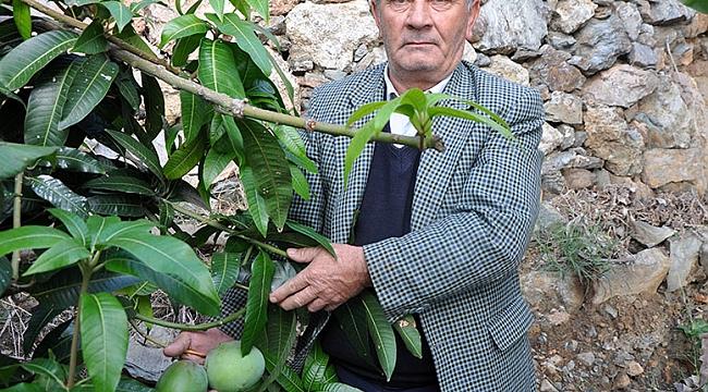 12 mango ağacından 45 bin lira kazandı