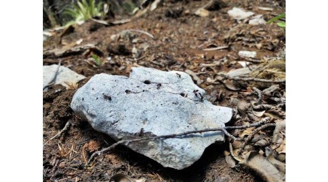 'Kırmızı karıncalar', orman zararlılarına karşı çalışıyor