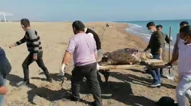 Caretta caretta ölüsü kıyıya vurdu