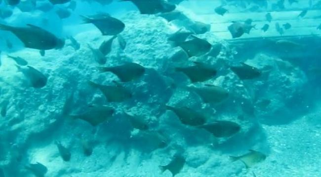 Kızıldeniz'den, Akdeniz'e göçen balık türü 65'e çıktı