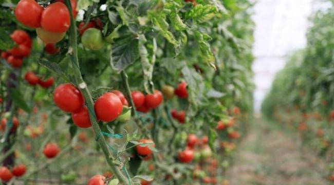 Rusya'nın domates ve biber ithalatına kısıtlamayı kaldırması Antalyalı üreticiyi sevindirdi