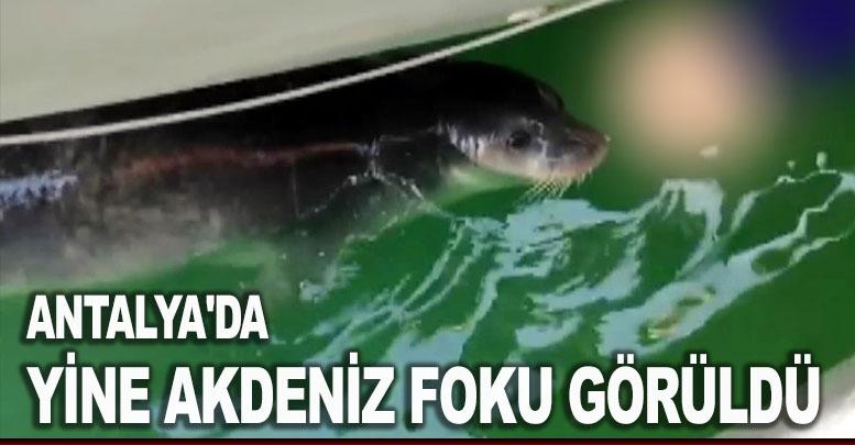 Antalya'da yine Akdeniz foku görüldü